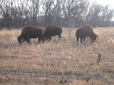 Buffalo on Konza