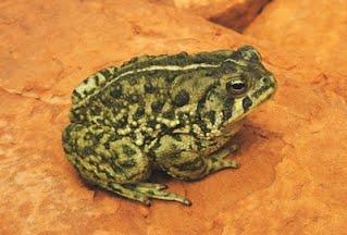 Worlds cutest frog