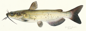 Channel Catfish (bottom-feeder) © Joseph R. Tomelleri