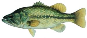 Largemouth Bass (sight-feeder) © Joseph R. Tomelleri