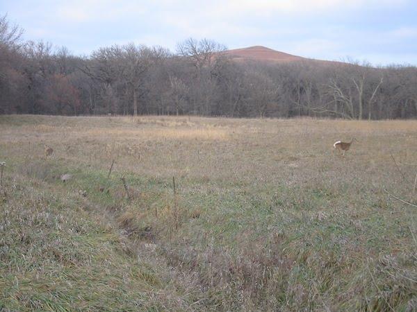 Deer on Konza