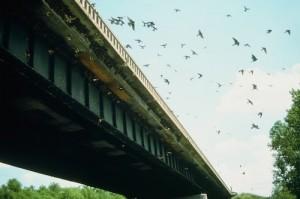 SwallowsSmall
